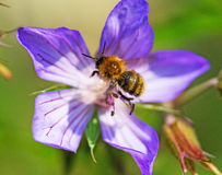 Una abeja en una flor púrpura del geranio Fotografía de archivo