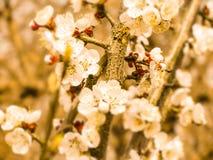 Una abeja en una flor, primavera, día de SunnyApril Imágenes de archivo libres de regalías