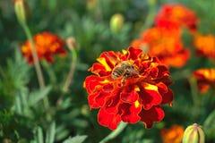 Una abeja en una flor roja Fotografía de archivo libre de regalías