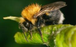 Una abeja en una hoja verde Fotografía de archivo libre de regalías