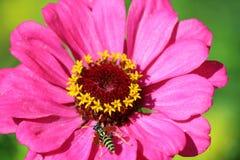 Una abeja en una margarita rosada Imagen de archivo libre de regalías