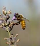Una abeja en una planta de la lavanda Foto de archivo libre de regalías