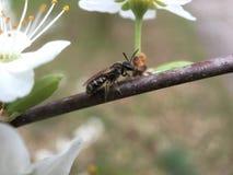 Una abeja en una rama Imagen de archivo