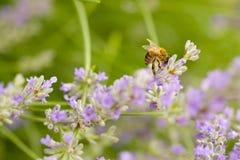 Una abeja en una ramita de la lavanda Imagenes de archivo