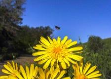 Una abeja en vuelo al lado de una flor amarilla Fotografía de archivo