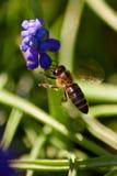 Una abeja en vuelo, con una flor azul Foto de archivo libre de regalías