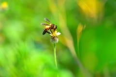 una abeja encaramada en la flor hermosa Fotografía de archivo