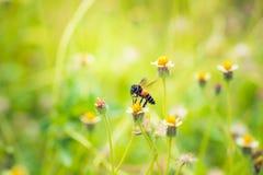 una abeja encaramada en la flor hermosa Fotografía de archivo libre de regalías