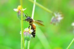 una abeja encaramada en la flor hermosa Fotos de archivo libres de regalías