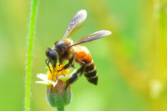 una abeja encaramada en la flor hermosa Imagen de archivo libre de regalías