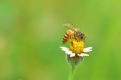 una abeja encaramada en la flor hermosa Imágenes de archivo libres de regalías