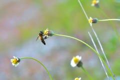 una abeja encaramada en la flor hermosa Foto de archivo