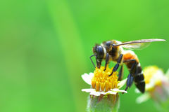una abeja encaramada en la flor hermosa Imagenes de archivo