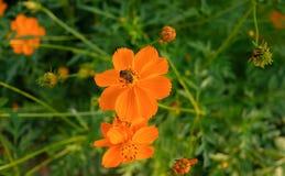 Una abeja es cosecha la comida de la flor anaranjada por la tarde Imagenes de archivo