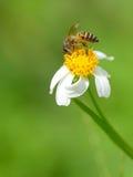 Una abeja está bebiendo el néctar Fotos de archivo