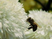 Una abeja está cogiendo el néctar Imagen de archivo libre de regalías