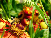 Una abeja está cogiendo el néctar Foto de archivo