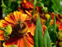 Una abeja está cogiendo el néctar en una flor roja en un jardín Fotografía de archivo