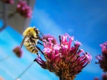 Una abeja está en una flor durante verano Foto de archivo