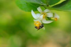 Una abeja está recolectando los carpelos en la flor de la cal Imagen de archivo