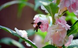 Una abeja está sentando en una flor rosada I mi jardín Imagen de archivo libre de regalías