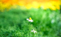 Una abeja está teniendo néctar de la flor de la margarita blanca, en jardín Fotografía de archivo libre de regalías