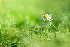 Una abeja está teniendo néctar de la flor de la margarita blanca, en jardín Fotografía de archivo