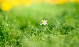 Una abeja está teniendo néctar de la flor de la margarita blanca, en jardín Imagenes de archivo