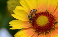 Una abeja europea recolecta el polen Imagen de archivo libre de regalías
