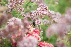Una abeja extrae la miel de una flor hermosa de la peonía Imágenes de archivo libres de regalías