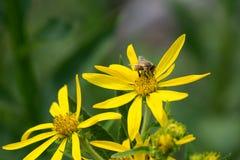 Una abeja feliz en una margarita amarilla alegre Imagen de archivo libre de regalías