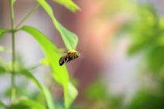 Una abeja grande Imágenes de archivo libres de regalías