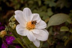 Una abeja grande se sienta en una flor blanca Fotos de archivo