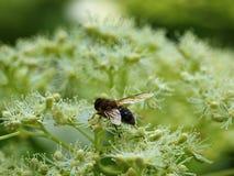 Una abeja ha aterrizado en el flor blanco de un guelder subió en el mes de mayo en Alemania Foto de archivo libre de regalías