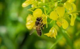 Una abeja hermosa imagen de archivo