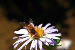 Una abeja hermosa recoge la miel en una flor suave del campo del color púrpura, durante un día caliente soleado Fotografía de archivo