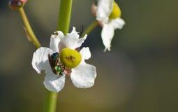 Una abeja iridiscente del sudor de los marismas Fotografía de archivo