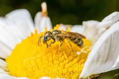 Una abeja minúscula en una flor Fotos de archivo