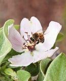 Una abeja mira hacia fuera de un flor del membrillo Fotos de archivo
