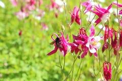Una abeja negra poliniza una flor Aguileña floreciente del color rojo Imagenes de archivo
