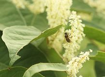 Una abeja ocupada Fotografía de archivo libre de regalías