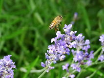 Una abeja ocupada 2 Imagenes de archivo