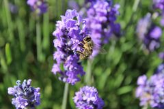 Una abeja ocupada recoge el néctar de las flores de la lavanda Fotos de archivo libres de regalías