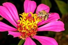 Una abeja picadora Fotografía de archivo