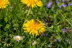 Una abeja poliniza una flor del diente de león Foto de archivo libre de regalías