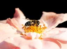 Una abeja poliniza una flor rosada en un fondo negro Imagenes de archivo