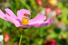 Una abeja poliniza la flor rosada Imágenes de archivo libres de regalías