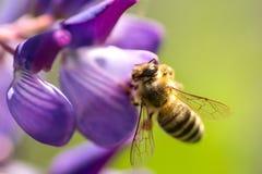 Una abeja poliniza lupine Abeja macra Fotos de archivo libres de regalías