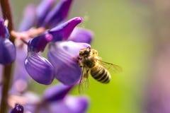 Una abeja poliniza lupine Abeja macra Fotografía de archivo libre de regalías