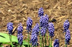 Una abeja poliniza un jacinto de uva Fotos de archivo